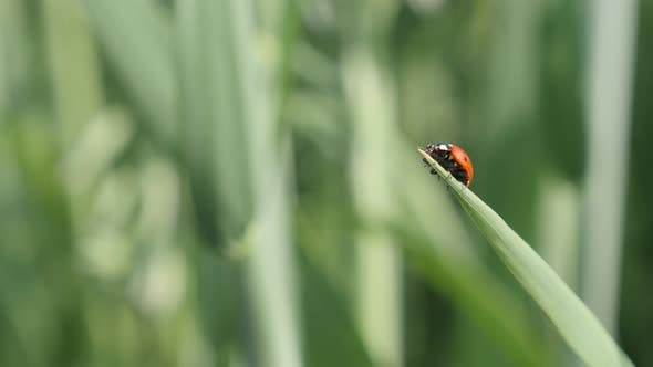 Thumbnail for Small Coccinellidae beetle close-up 4K 2160p 30fps UltraHD footage - Ladybird on the grass  shallow