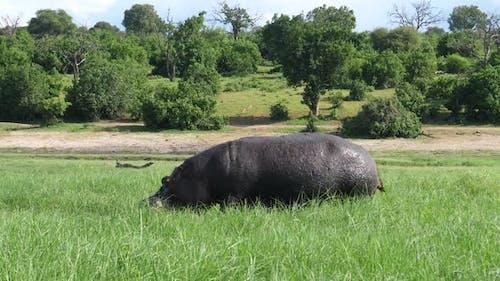 Hippo grazing at Chobe National Park