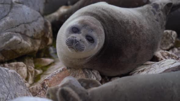Seal Nerpa Rest on Rock Portrait