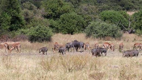 Warthog in Chobe reserve, Botswana safari wildlife