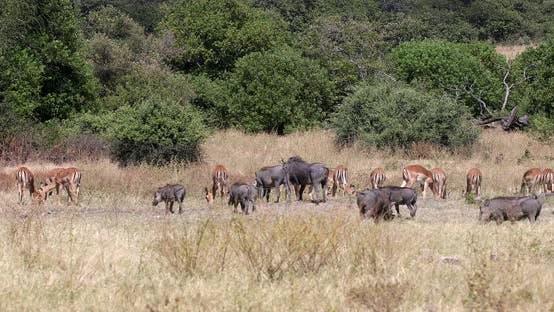 Thumbnail for Warthog in Chobe reserve, Botswana safari wildlife