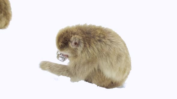 Thumbnail for Japanese Macaques or Monkey Searching Food in Snow