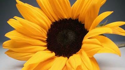 Zoom Of Sunflower
