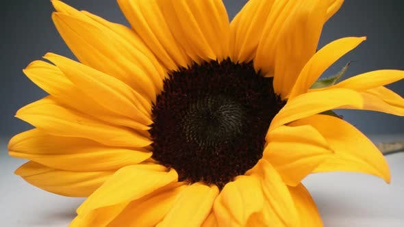 Zoom Of Sunflower