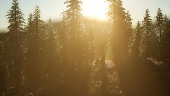 Thumbnail for Deer Male in Forest at Sunset