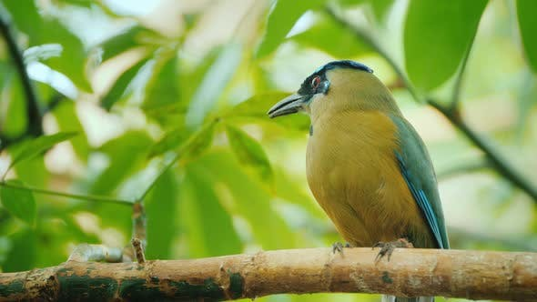 Thumbnail for Blue-crowned Motmot, Wild Nature with Animal in the Nature Forest