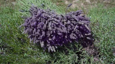 Bunch of Cut Lavender on the Cultivated Field
