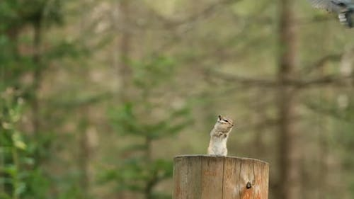A Curious Chipmunk Stands on Its Hind Legs and Is Frightened By a Tit Flying Over It
