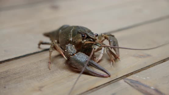 Thumbnail for Healthy and Active Fresh River Lobster or Crayfish Walking in a Tabel. V2