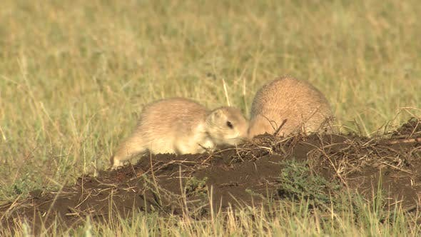 Thumbnail for Black-tailed Prairie Dog Pair Digging Pushing in Summer Mound Dirt Working Dirt On Nose