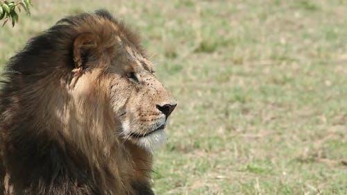 750237 African Lion, panthera leo, Male licking its Nose, Masai Mara Park in Kenya, Real Time
