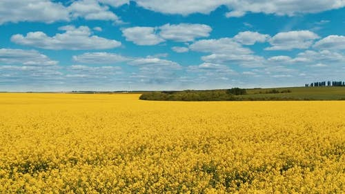 Aerial view of raps field. Colorful field of yellow blooming raps flowers