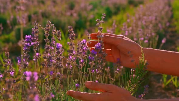 Close Up Traveler in Provence Touches Purple Flowers