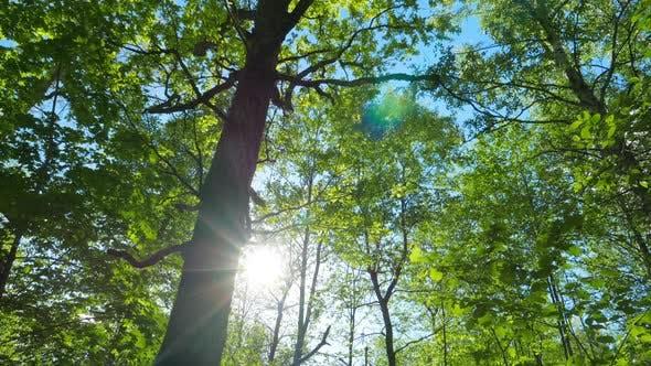 Thumbnail for Oak Tilt 1