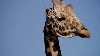Animals 009 - Giraffe