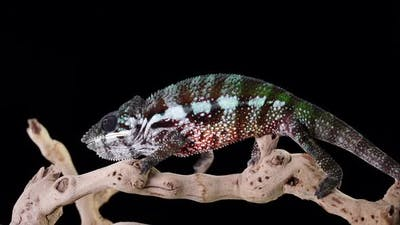 Chameleon On Branch Walking