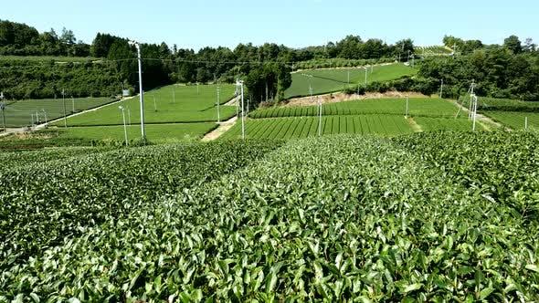 Thumbnail for Tea farm