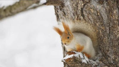 The squirrel sits on a tree in the winter forest