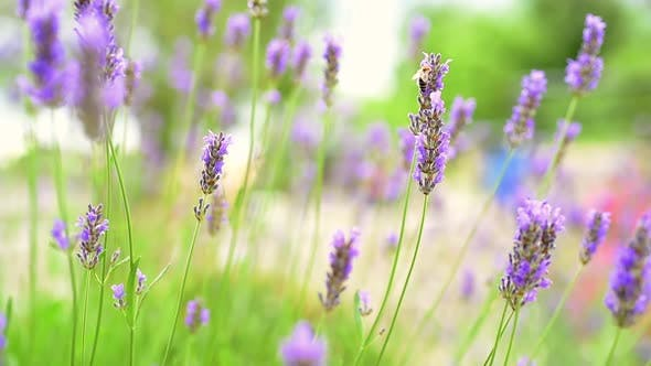 Lavender and a bee