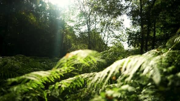 Thumbnail for Sunrise across a forest floor in summer