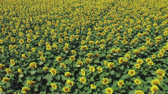 Thumbnail for Large Beautiful Field of Sunflowers Aerial View Background