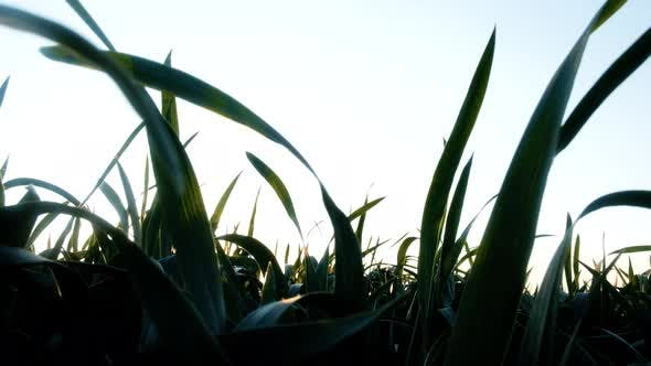 Thumbnail for Green Young Wheat Field