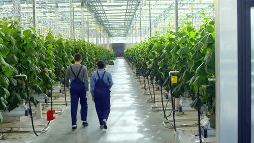 Workers Walking in Greenhouse