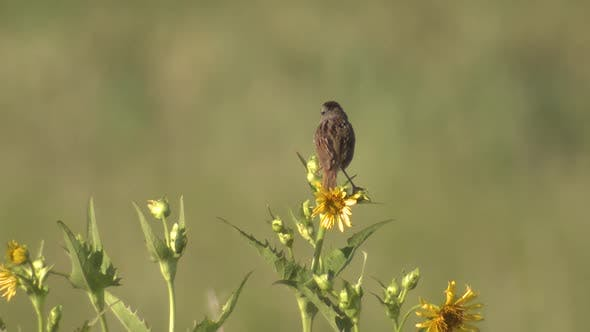 Thumbnail for Chipping Sparrow Male Calling Singing Song in Summer in Minnesota Prairie