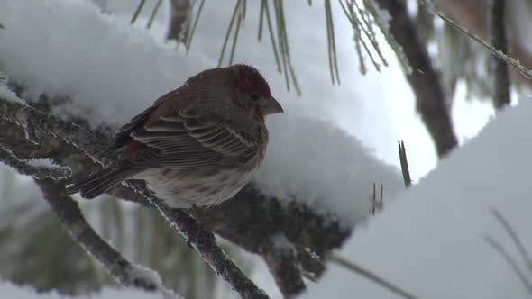 Thumbnail for Finch Alone in Winter in South Dakota United States
