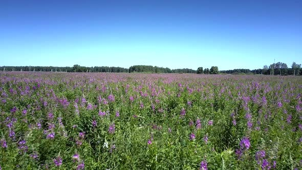 Thumbnail for Beautiful Wide Field with Growing Violet Blooming Flowers