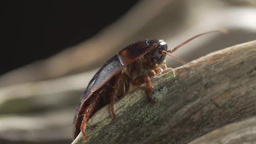 Macro of a Big Brown Cockroach