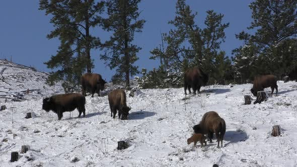 Thumbnail for Bison Cow Female Adults and Young Calf Baby Herd in Winter or Spring Snow