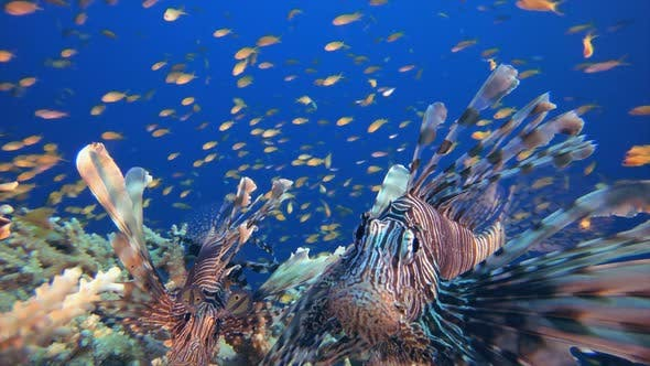 Thumbnail for Tropical Underwater Reef Lionfish