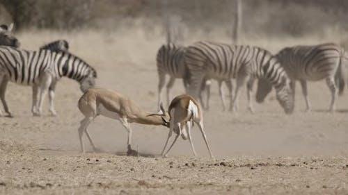 Springboks Locking Horns