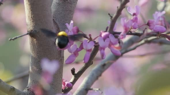 A bumblebee collects Nectar from a Flower, slow-motion footage