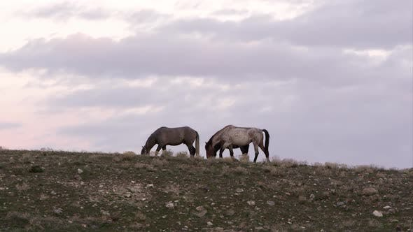 Thumbnail for Wild horses grazing along the horizon at the top of a hill.