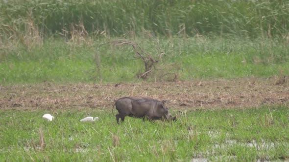 Thumbnail for Warthog at Diawling National Park