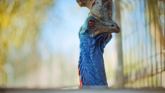 Thumbnail for Close up of Southern Cassowary, the largest flightless bird. BMPCC 4K
