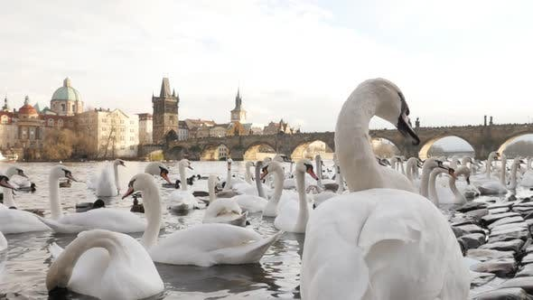 Thumbnail for Beautiful Czech Republic city of Prague scene with white Cygnus on water 1920X1080 HD footage - Slow
