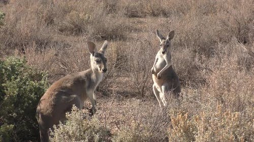 Red Kangaroo Adult Immature Pair Standing Looking Around in New South Wales