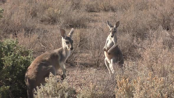 Thumbnail for Red Kangaroo Adult Immature Pair Standing Looking Around in New South Wales