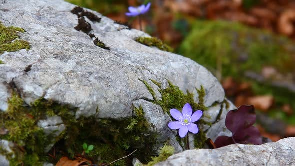 Small Blue Flower and Rocks