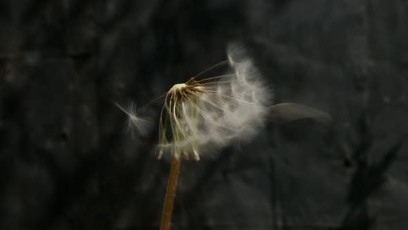 Thumbnail for Blowball dandelion  seed flying from flower slow motion 1080p FullHD video - Taraxacum plant seed he