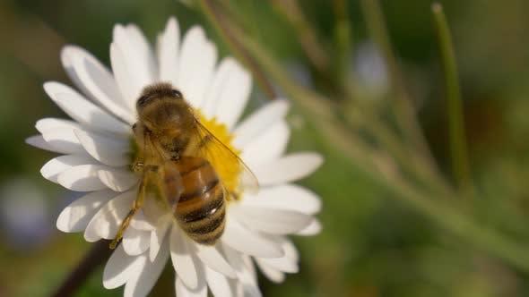 Honey Bee Daisy Close Up