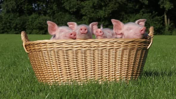 Thumbnail for Piglets in a basket