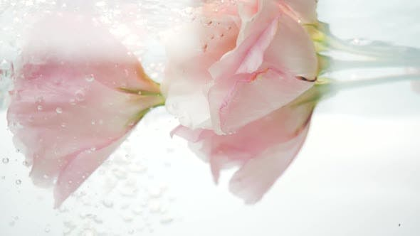 Thumbnail for Fresh, Tenderness and Softness Pink Roses Are Under a Stream of Cool Clear Water, and Air Bubbles