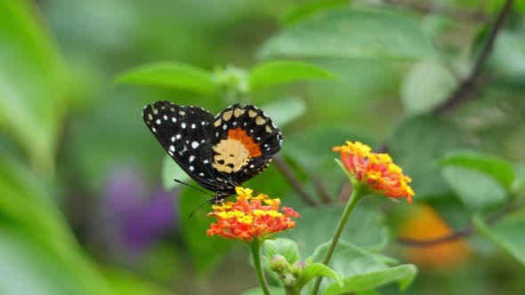 Thumbnail for Orange and Black Dottet Tropical Butterfly