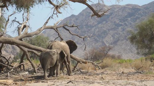 Two elephants grazing around a big fallen dead tree on the dry Hoanib Riverbed in Namibia