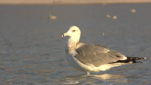 Yellow-footed Gull Immature Lone Standing in Mexico