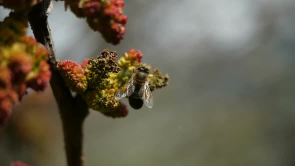 Close-up of a Honey Bee Pollinating Flowers in Slow Motion. Bee Collects Nectar From Blossoming